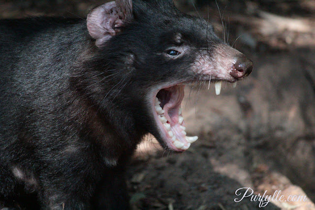 Tasmanian Devil's have sharp teeth