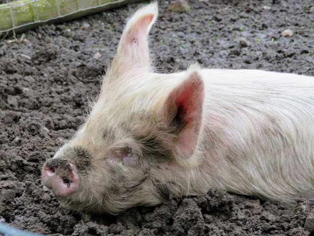 Pig wallowing at the Black Country Living Museum near Birmingham, England