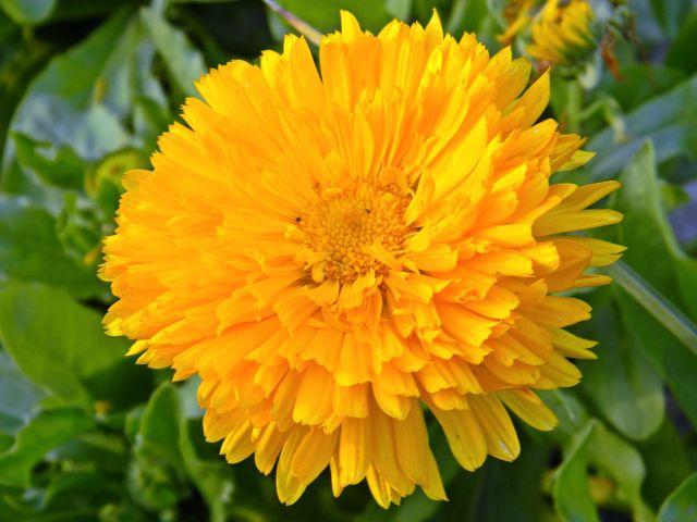 pomarańczowe kwiaty, ogród, działka, kwiaty ozdobne