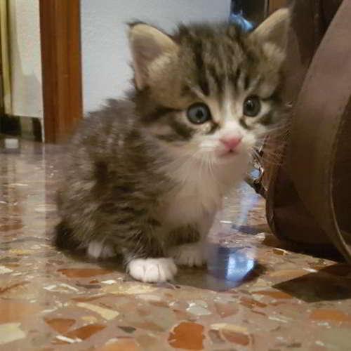 gato mestizo comun europeo