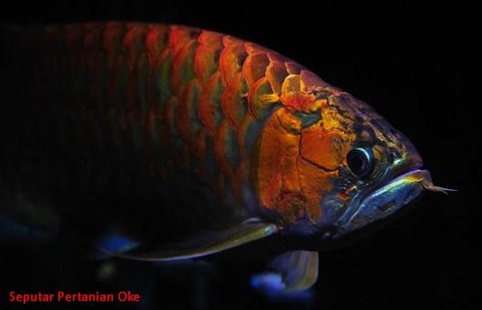10 Jenis Ikan Hias Air Tawar Termahal - REFERENSI ILMU ...