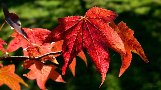 Foglie di liquidambar rosse in autunno. Fotografia di Giovanni Battisti