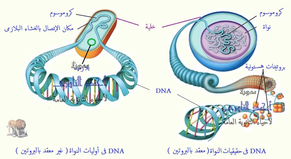 الحمض النووى ديؤكسى ريبوز dna – فى أوليات وحقيقيات النواة
