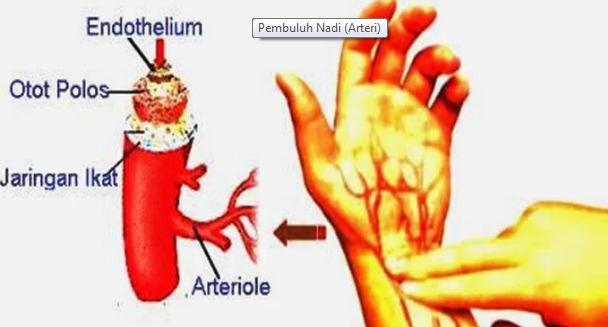 Pengertian Pembuluh Nadi (Arteri) Beserta Ciri, Fungsi Dan Jenisnya Terlengkap