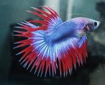 Jenis Ikan Cupang indah