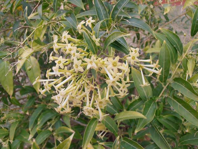 Flores del GALÁN DE NOCHE: Cestrum nocturnum