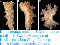 http://sciencythoughts.blogspot.co.uk/2016/12/dendronotus-arcticus-dendronotus.html