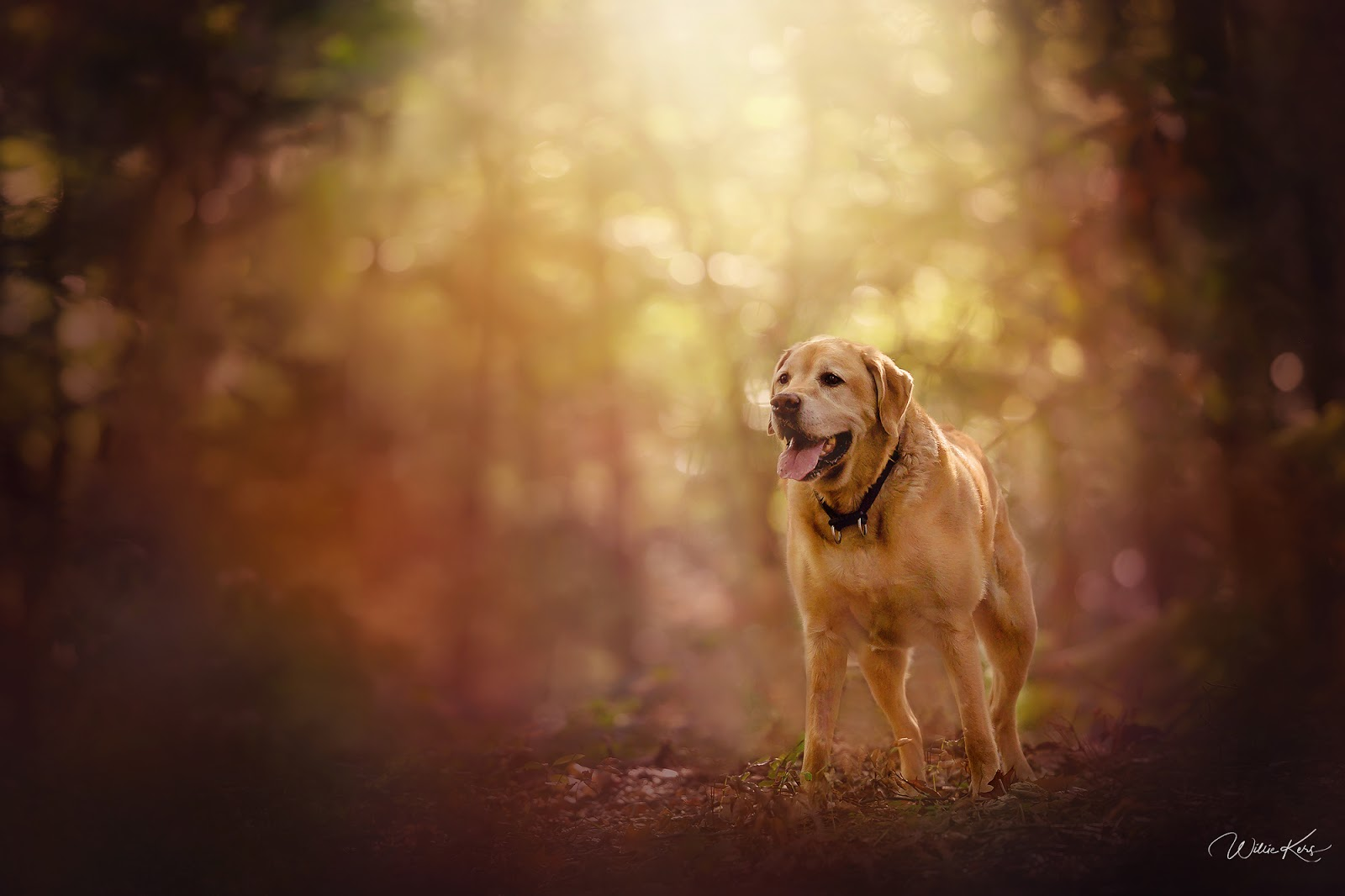 portrait of a large labrador dog standing in an autumn forest during sunset by wille kers
