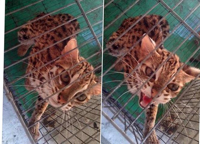 Gia Lai: Giải cứu chú mèo rừng bị rao bán trên Facebook