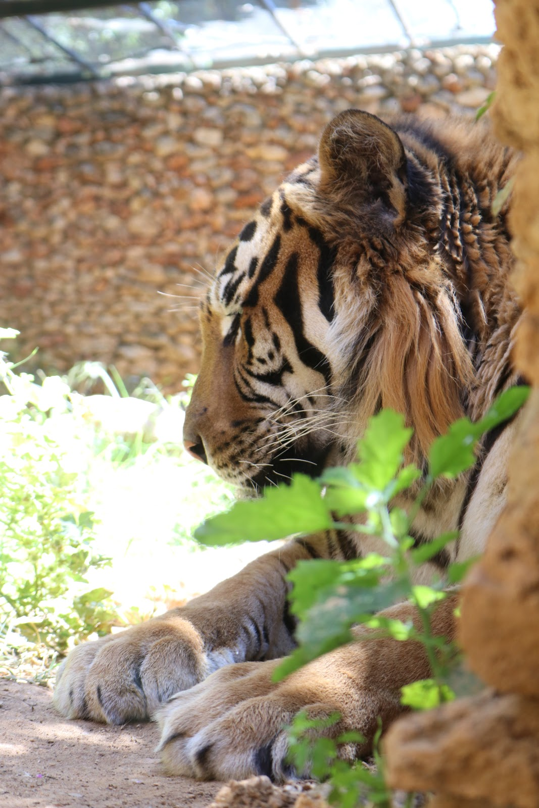 A Tiger in Zoo De Castellar, Spain