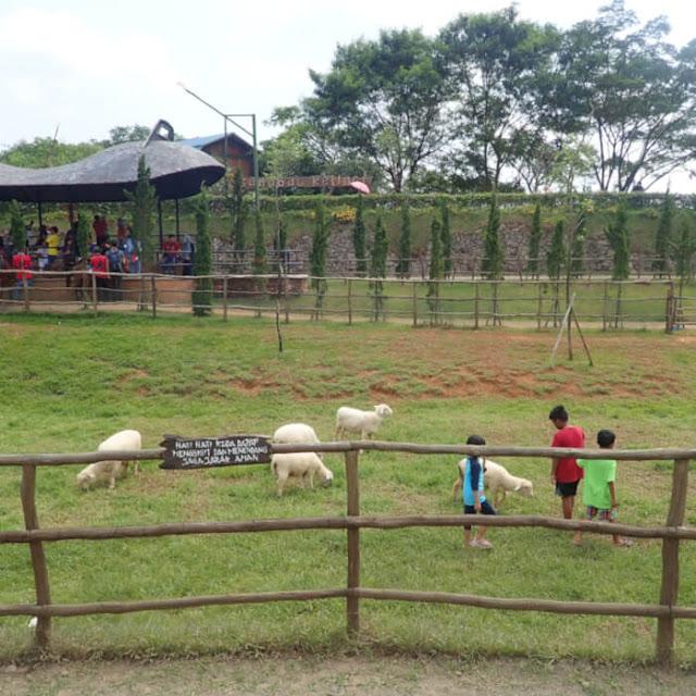 bermain dengan domba