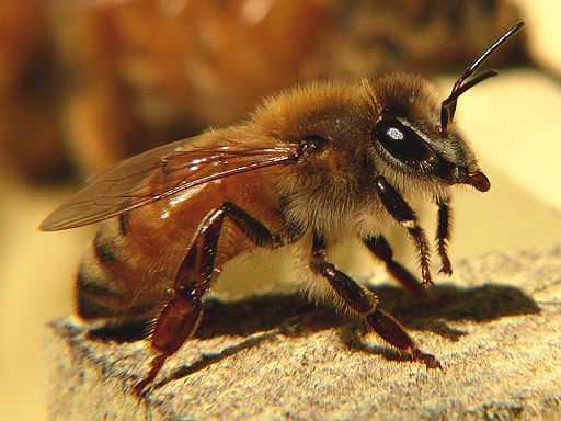 Fotografía de una abeja en primer plano en la que podemos ver sus grandes y diferenciadas antenas.