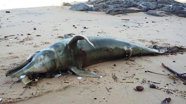 Golfinho aparece morto na Praia de Santana