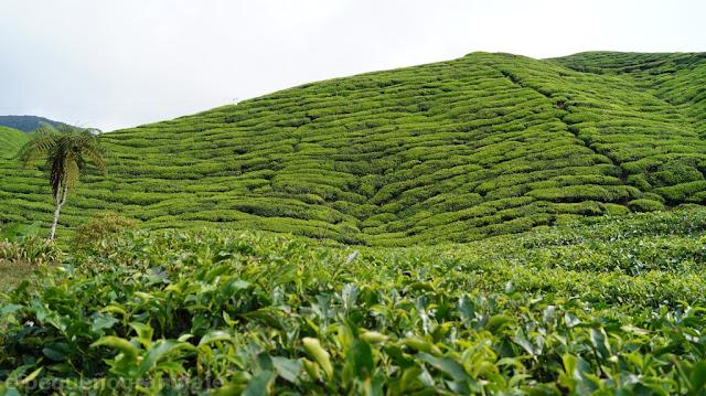Cameron Highlands, gasto, promedio, alimentos, malasia, centro de té, plantacion de té