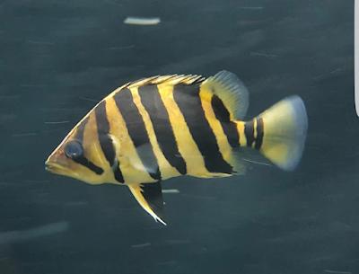 Datnoid Ikan Predator Tipe Tengah