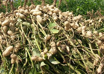 Image result for mungfali farm rajasthan