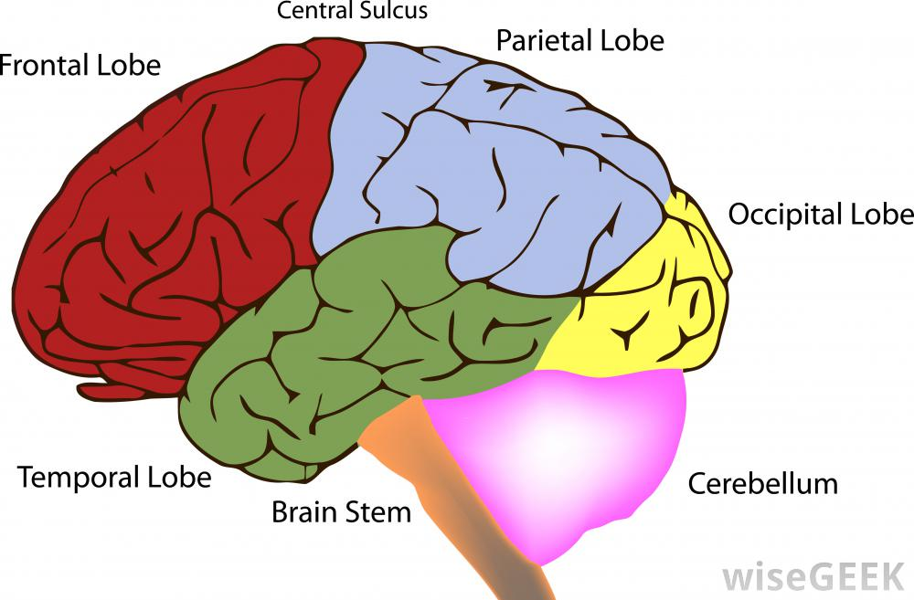 Learn the Four Lobes of the Brain
