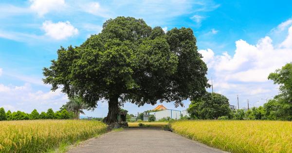 台中金城武樹、台中伯朗小道