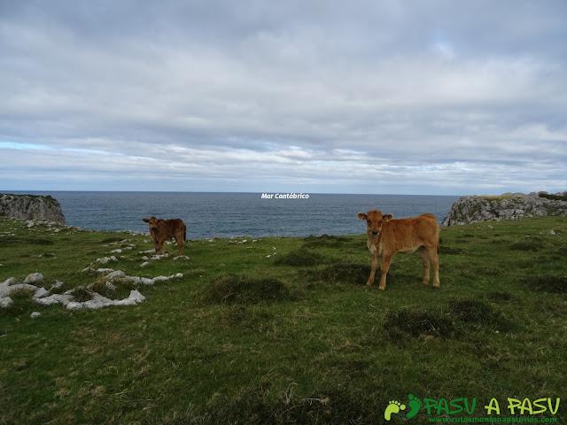 Terneros junto al mar Cantábrico