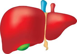 Karaciğer ve Pankreasın Sindirimdeki Görevleri (7. Sınıf)