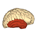 temporal lobe brain image