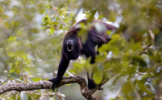 Monyet Howler