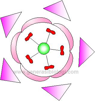 Nama latin adenium klasifikasi morfologi dan deskripsinya diagram bunga ccuart Image collections