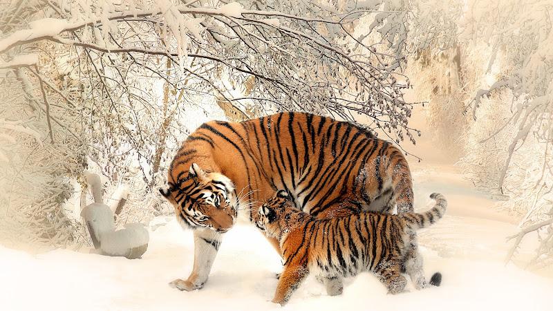 Tiger Mom and Tiger Cub HD