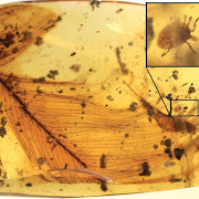 Dinosaur parasites trapped in 100-million-year-old amber tell blood-sucking story