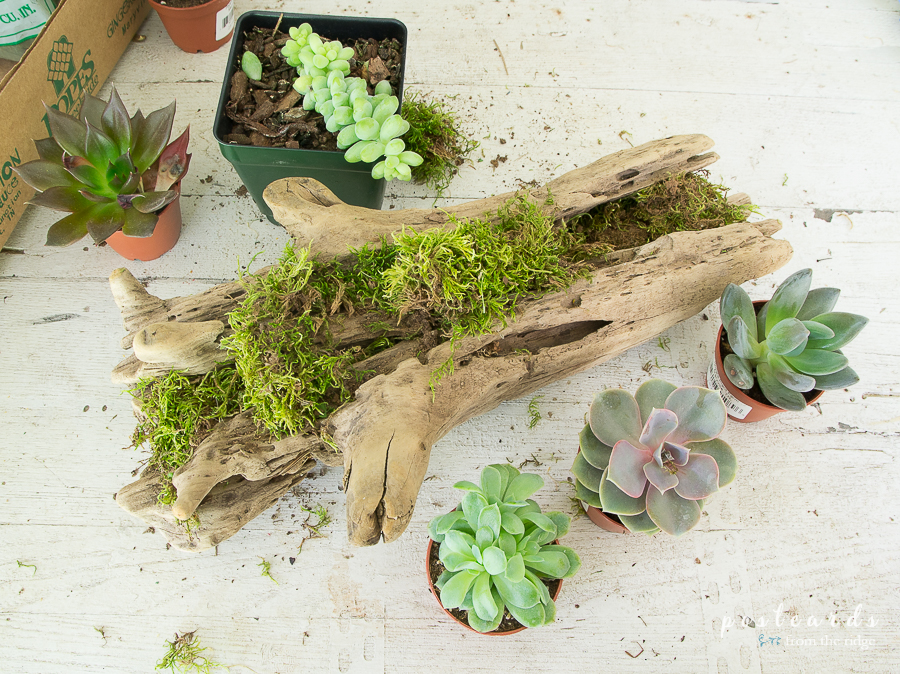 succulents and driftwood planter with moss