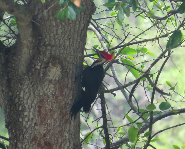 Pileated Woodpecker - Wakodahatchee Wetlands, Florida
