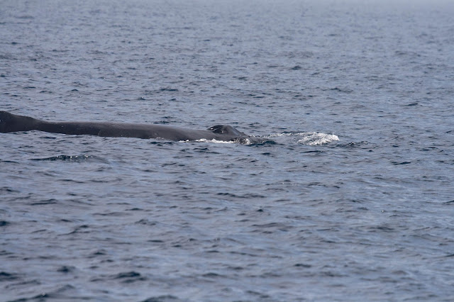 Humpback Whale blowhole to dorsal fin