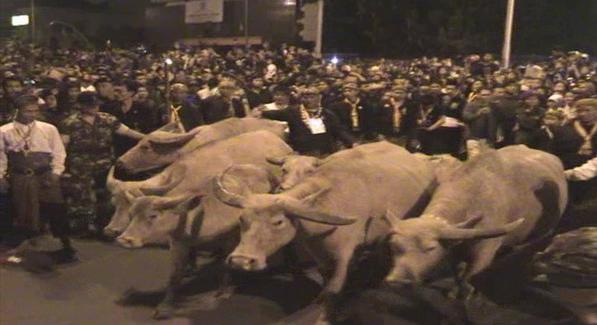 Perayaan Malam Satu Suro, Masyarakat Berharap dapat Kotoran Kerbau Bule