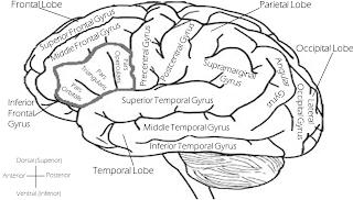 Observan imágenes de cambios cerebrales tras la acupuntura