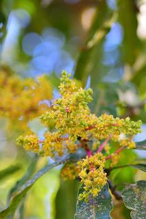 mango flowers