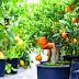 Cara menanam sayuran dan buah dalam pot