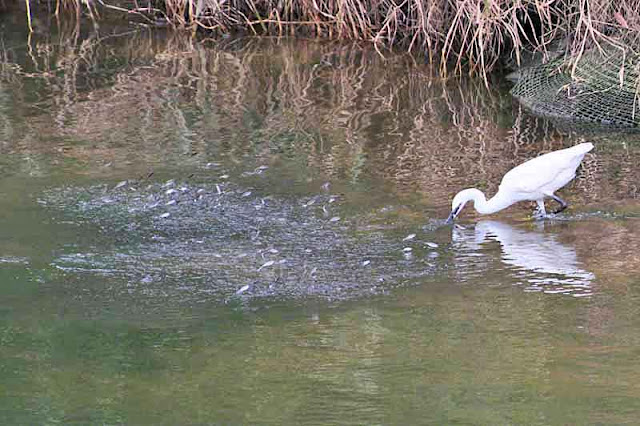 river,fish jumping;bird;egret;Okinawa