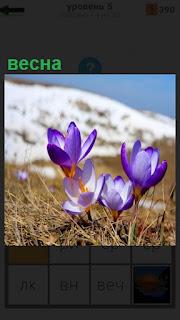 Розовые цветы распустились весной, вдали снежная гора