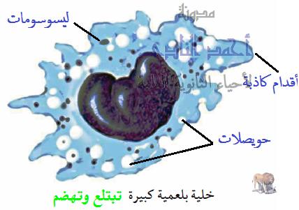تركيب الجهاز المناعى - الخلايا البلعمية الكبيرة الثابتة - الجوالة