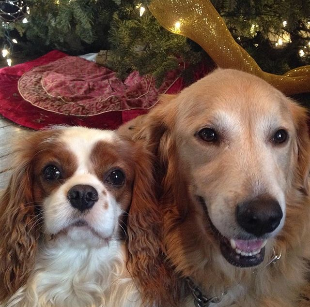 Blenheim Cavalier King Charles Spaniel and Golden Retriever by Christmas tree