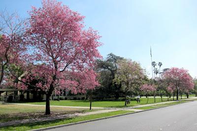 Tukang Taman Surabaya harga Pohon Tabebuya pink