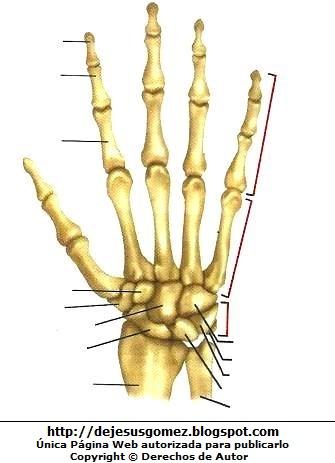 Imagen de Huesos de la mano para colocar nombres de sus partes (Dorsal derecha) por Jesus Gómez