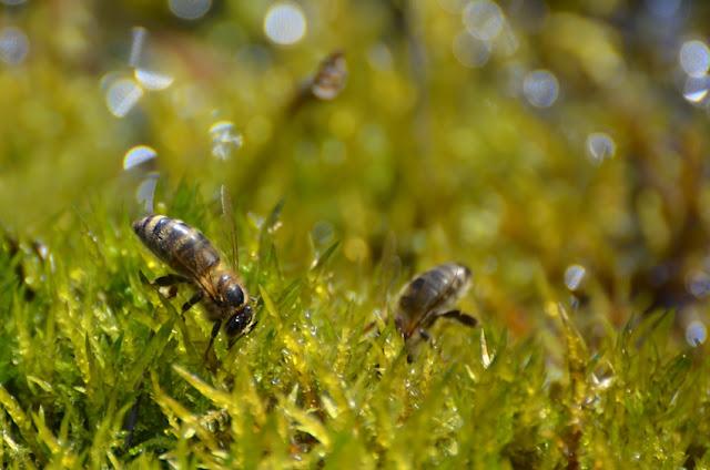 Des abeilles à miel buvant dans la mare