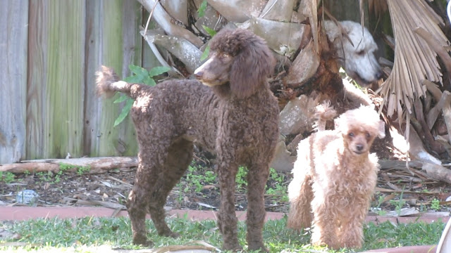 "Toy, Standard and ""Giant"" Poodle"