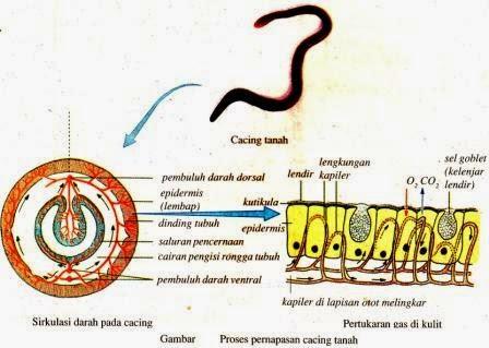 Sistem Pernapasan Pada Hewan