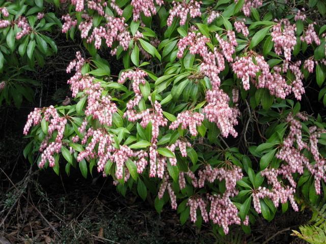 Seattle Garden Ideas Pieris Japonica