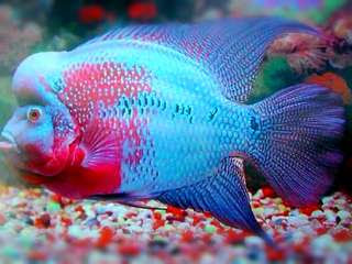 Mengatasi Ikan Louhan Tidak Mau Makan Tips Ikan