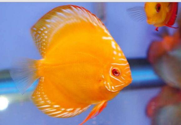 ikan discus Gold Yellow Diamond