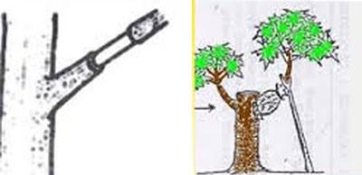 Tehnik Cara Mencangkok Pohon Buah