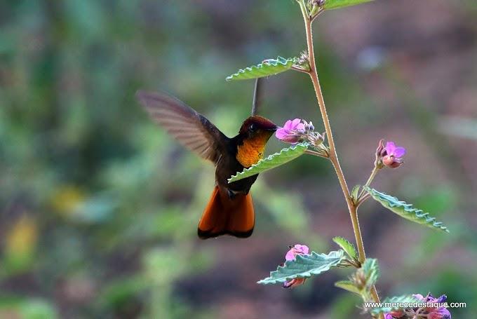 A foto em destaque: Beija-flor-vermelho